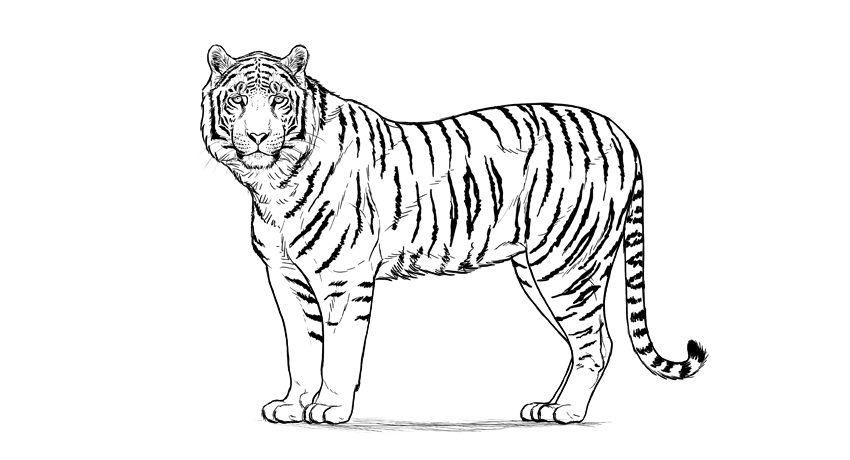 contoh sketsa macan